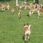 Lundehunde - mange lundehunde - herligt.  Og så var det kun en del af de lundehunde der var til træffet