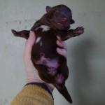 Keeza's Lunde Luonto Trombi (Toks) ♂ - vægt ved fødsel 448 g