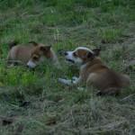Paju og Piiri 10 uger gamle