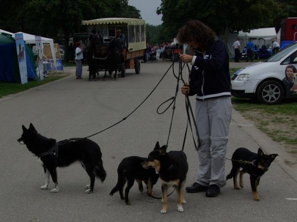 Vi skulle også lige have et billede af flokken med finsk hyrdehund foran en hestevogn!