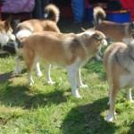 Hundene får hilst på hinanden