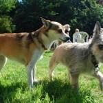 Ud over de 46 lundehunde var der flere hunde af anden race