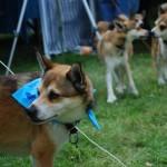 Det kan være svært at finde sin hund i flokken, så nogle har halsklud på så man kan genkende dem