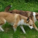 Hundene leder efter æg. Her har Mikkel fundet et og Keeza er misundelig