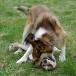 Det ser voldsomt ud, men hundene havde det sjovt