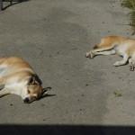 Mor Keeza (til højre) og datter Ylva (til venstre) er trætte efter at have været sammen med de mange hunde