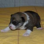 Qaqi 2 uger gammel
