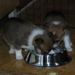 Q-kuldets første måltid med fast føde