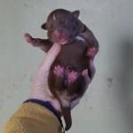 Keeza's Lunde Luonto Revontuli (Eliina) ♀ - Vægt ved fødsel 395 g