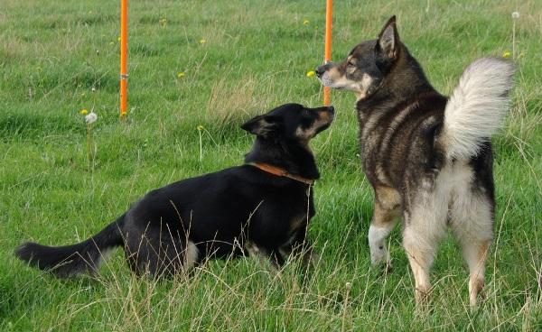 Laulu og Arkos skulle helst så langt bort som muligt og var ikke længe om at finde hullet ind til agilitybanen.