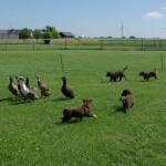 Hele flokken sprang efter løbeænderne
