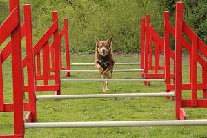 Eliina træner agility