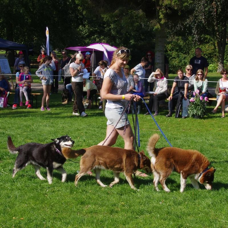 Finsk hyrdehund til racepræsentation