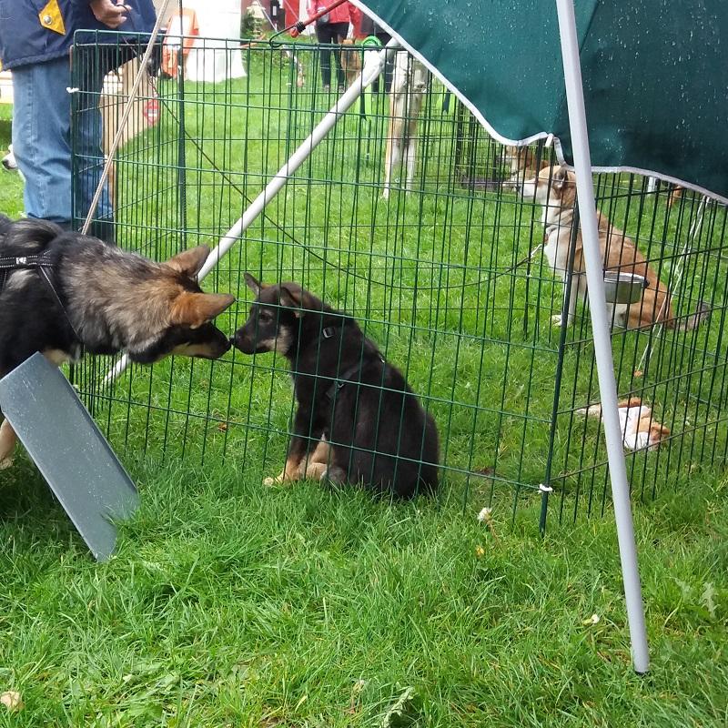 Taika var ene om at repræsentere mine finske hyrdehunde. En god anledning til at opleve en masse og få hilst på nogle søde hunde