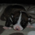 Keeza's Lunde Tokke 2 ugerr gammel