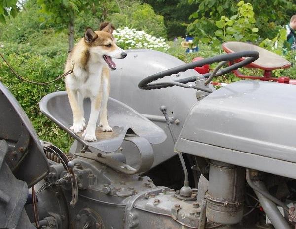 En lille lundedreng skulle også lige prøve en traktor. Her på en fin gammel Ferguson