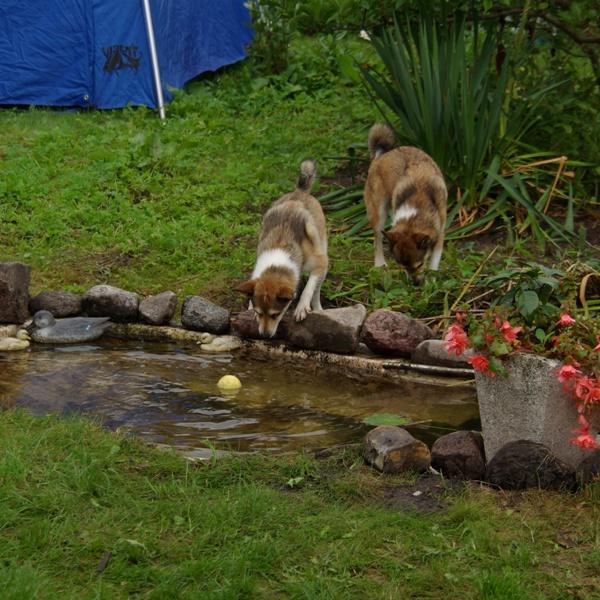 Rikki (Stein Lundes Holgi) synes at et æble i vanddammen er spændende!