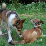 Nogle hanner har stadig energi til af tjekke tæverne en ekstra gang (Frey tjekker Cayla)