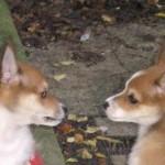 Lofar og Lauga 10 uger gamle
