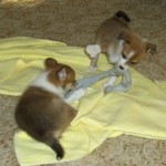 Lofar og Lauga leger trækkeleg