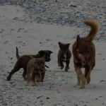 Tre af hvalpene var kommet på afveje, så far Calmmo løb lige tilbage og hentede flokken - man er vel hyrdehund