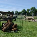 Så skal fårene hjem til flokken og nu er de rigtig interessante