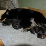 Laulu med sine hvalpe 5 dage gamle