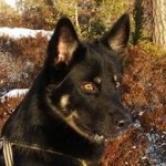 Keeza's Lunde Auringonkehä - ♂ (Munti) - bor i Norge