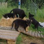 De fire tilbageværende hvalpe. Anton er allerede flyttet til sin nye familie