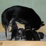 Mor Laulu nurser hvalpene