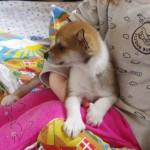 Xena 7½ uge og Maia 2½ år